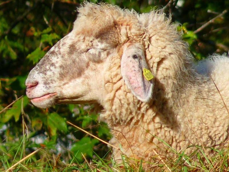 羊的口蹄疫的症状图片是什么样的口蹄疫会不会传染人